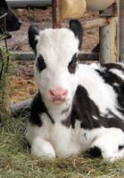 パンダ似の子牛、その名も「パンモ」