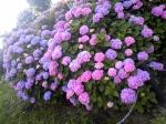 近場できれいなアジサイ咲いてました