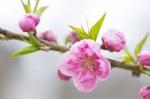 第3回 桜ウォーク鹿嶋神の道:三社詣り