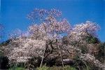 【桜・見ごろ】東山代の明星桜