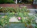 フラワーガーデンのバラ