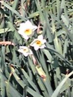 もう水仙の花が咲いています。