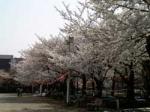 お花見情報 錦糸公園