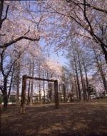 お花見情報 東綾瀬公園