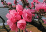 瑞ケ池公園の桜と南京桃。。きれいでっせ!!