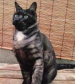 黒っぽい灰色の迷子猫を探しています。