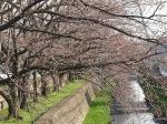桜開花情報 さくら通り