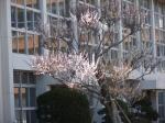 旧麻生町立小高小学校の梅の花