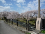 あさひ桜まつり