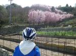 江の浦の早咲き海道桜が満開