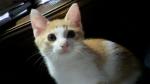 かわいい子猫ゆずります