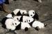 パンダの会