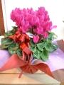 今年のお歳暮はお花を贈りませんか(*´∀`*)冬の蘭シンピジューム・花もち抜群シクラメンなどお歳暮に最適です(#^.^#)