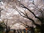 川崎市高津区で桜の名所と言えば?