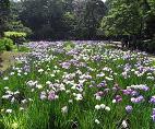 小石川後楽園「花菖蒲を楽しむ」