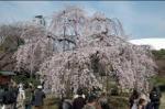 小石川後楽園 「しだれ桜見頃期間・開園時間延長のおしらせ