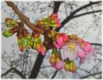 いたみ緑歩道南端の「ひかん桜」開花!