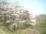 お花見情報 滝山公園