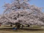 お花見情報 光が丘公園