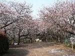 お花見情報 石神井公園