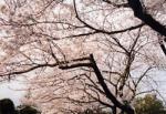 お花見情報 谷中霊園