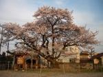 写真展【旧三日市小学校の百年桜の生い立ち】