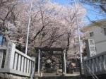 馬絹神社の桜