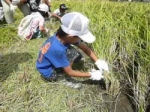 体験稲刈り2012 参加者募集中