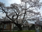 旧三日市小学校の百年桜を観る会&お茶会