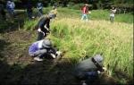 小石川後楽園 恒例の稲刈り体験